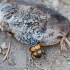 Juodbuožis duobkasys - Nicrophorus vespilloides   Fotografijos autorius : Zita Gasiūnaitė   © Macrogamta.lt   Šis tinklapis priklauso bendruomenei kuri domisi makro fotografija ir fotografuoja gyvąjį makro pasaulį.