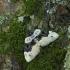 Juodjuostė cidarija - Cosmorhoe ocellata | Fotografijos autorius : Vidas Brazauskas | © Macrogamta.lt | Šis tinklapis priklauso bendruomenei kuri domisi makro fotografija ir fotografuoja gyvąjį makro pasaulį.