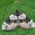 Juodjuostė cidarija - Cosmorhoe ocellata | Fotografijos autorius : Gintautas Steiblys | © Macrogamta.lt | Šis tinklapis priklauso bendruomenei kuri domisi makro fotografija ir fotografuoja gyvąjį makro pasaulį.