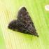 Juodoji heliotela - Heliothela wulfeniana | Fotografijos autorius : Romas Ferenca | © Macrogamta.lt | Šis tinklapis priklauso bendruomenei kuri domisi makro fotografija ir fotografuoja gyvąjį makro pasaulį.