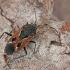 Pušyninė dirvablakė - Rhyparochromus pini | Fotografijos autorius : Gintautas Steiblys | © Macrogamta.lt | Šis tinklapis priklauso bendruomenei kuri domisi makro fotografija ir fotografuoja gyvąjį makro pasaulį.
