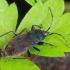 Raudonrudė dirvablakė - Eremocoris plebejus | Fotografijos autorius : Gintautas Steiblys | © Macrogamta.lt | Šis tinklapis priklauso bendruomenei kuri domisi makro fotografija ir fotografuoja gyvąjį makro pasaulį.