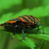 Juostelinė skydblakė - Graphosoma italicum | Fotografijos autorius : Irenėjas Urbonavičius | © Macrogamta.lt | Šis tinklapis priklauso bendruomenei kuri domisi makro fotografija ir fotografuoja gyvąjį makro pasaulį.