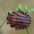Juostelinė skydblakė - Graphosoma italicum   Fotografijos autorius : Žilvinas Pūtys   © Macrogamta.lt   Šis tinklapis priklauso bendruomenei kuri domisi makro fotografija ir fotografuoja gyvąjį makro pasaulį.