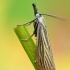 Juostuotasis žolinis ugniukas - Chrysoteuchia culmella | Fotografijos autorius : Arūnas Eismantas | © Macrogamta.lt | Šis tinklapis priklauso bendruomenei kuri domisi makro fotografija ir fotografuoja gyvąjį makro pasaulį.