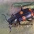 Juostuotasis pūsliavabalis - Anthocomus fasciatus   Fotografijos autorius : Romas Ferenca   © Macrogamta.lt   Šis tinklapis priklauso bendruomenei kuri domisi makro fotografija ir fotografuoja gyvąjį makro pasaulį.