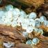 Juosvojo šliužo - Limax cinereoniger kiaušiniai | Fotografijos autorius : Romas Ferenca | © Macrogamta.lt | Šis tinklapis priklauso bendruomenei kuri domisi makro fotografija ir fotografuoja gyvąjį makro pasaulį.