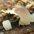 Drebutinis netikradyglis - Pseudohydnum gelatinosum   Fotografijos autorius : Gintautas Steiblys   © Macrogamta.lt   Šis tinklapis priklauso bendruomenei kuri domisi makro fotografija ir fotografuoja gyvąjį makro pasaulį.