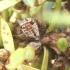 Kadaginis amaras - Cinara juniperi | Fotografijos autorius : Vytautas Tamutis | © Macrogamta.lt | Šis tinklapis priklauso bendruomenei kuri domisi makro fotografija ir fotografuoja gyvąjį makro pasaulį.