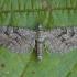 Kadugiažiedis sprindytis - Eupithecia pusillata | Fotografijos autorius : Žilvinas Pūtys | © Macrogamta.lt | Šis tinklapis priklauso bendruomenei kuri domisi makro fotografija ir fotografuoja gyvąjį makro pasaulį.