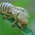 Kalninės cikados - Cicadetta montana išnara | Fotografijos autorius : Gintautas Steiblys | © Macrogamta.lt | Šis tinklapis priklauso bendruomenei kuri domisi makro fotografija ir fotografuoja gyvąjį makro pasaulį.