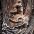 Kamščiapintė apdegėlė - Bjerkandera adusta | Fotografijos autorius : Aleksandras Stabrauskas | © Macrogamta.lt | Šis tinklapis priklauso bendruomenei kuri domisi makro fotografija ir fotografuoja gyvąjį makro pasaulį.