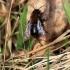 Klarko smėliabitė - Andrena clarkella | Fotografijos autorius : Ramunė Vakarė | © Macrogamta.lt | Šis tinklapis priklauso bendruomenei kuri domisi makro fotografija ir fotografuoja gyvąjį makro pasaulį.