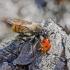 Kamaniškoji plėšriamusė - Laphria flava | Fotografijos autorius : Kazimieras Martinaitis | © Macrogamta.lt | Šis tinklapis priklauso bendruomenei kuri domisi makro fotografija ir fotografuoja gyvąjį makro pasaulį.