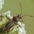 Kampuotblakė - Rhopalus sp. | Fotografijos autorius : Vidas Brazauskas | © Macrogamta.lt | Šis tinklapis priklauso bendruomenei kuri domisi makro fotografija ir fotografuoja gyvąjį makro pasaulį.