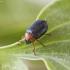 Karklinė smaragdina - Smaragdina salicina | Fotografijos autorius : Kazimieras Martinaitis | © Macrogamta.lt | Šis tinklapis priklauso bendruomenei kuri domisi makro fotografija ir fotografuoja gyvąjį makro pasaulį.