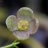 Karpotasis ožekšnis - Euonymus verrucosus | Fotografijos autorius : Romas Ferenca | © Macrogamta.lt | Šis tinklapis priklauso bendruomenei kuri domisi makro fotografija ir fotografuoja gyvąjį makro pasaulį.