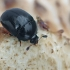 Žvilgvabalis - Cyllodes ater | Fotografijos autorius : Gintautas Steiblys | © Macrogamta.lt | Šis tinklapis priklauso bendruomenei kuri domisi makro fotografija ir fotografuoja gyvąjį makro pasaulį.