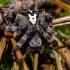Kauburiuotasis kryžiuotis - Araneus angulatus | Fotografijos autorius : Oskaras Venckus | © Macrogamta.lt | Šis tinklapis priklauso bendruomenei kuri domisi makro fotografija ir fotografuoja gyvąjį makro pasaulį.
