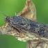 Keliaujantysis plačiasparnis ugniukas - Nomophila noctuella | Fotografijos autorius : Gintautas Steiblys | © Macrogamta.lt | Šis tinklapis priklauso bendruomenei kuri domisi makro fotografija ir fotografuoja gyvąjį makro pasaulį.