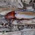 Kelmaspragšis - Ampedus pomonae | Fotografijos autorius : Romas Ferenca | © Macrogamta.lt | Šis tinklapis priklauso bendruomenei kuri domisi makro fotografija ir fotografuoja gyvąjį makro pasaulį.