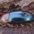 Kempinvabalis - Triplax aenea | Fotografijos autorius : Žilvinas Pūtys | © Macrogamta.lt | Šis tinklapis priklauso bendruomenei kuri domisi makro fotografija ir fotografuoja gyvąjį makro pasaulį.