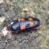 Keturdėmis žvilgvabalis - Ipidia binotata | Fotografijos autorius : Romas Ferenca | © Macrogamta.lt | Šis tinklapis priklauso bendruomenei kuri domisi makro fotografija ir fotografuoja gyvąjį makro pasaulį.