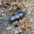 Keturdėmis žvilgvabalis - Ipidia binotata | Fotografijos autorius : Kazimieras Martinaitis | © Macrogamta.lt | Šis tinklapis priklauso bendruomenei kuri domisi makro fotografija ir fotografuoja gyvąjį makro pasaulį.