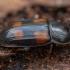 Keturdėmis žvilgvabalis - Ipidia binotata | Fotografijos autorius : Žilvinas Pūtys | © Macrogamta.lt | Šis tinklapis priklauso bendruomenei kuri domisi makro fotografija ir fotografuoja gyvąjį makro pasaulį.