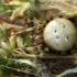 Keturdėmis kryžiuotis - Araneus quadratus | Fotografijos autorius : Ramunė Vakarė | © Macrogamta.lt | Šis tinklapis priklauso bendruomenei kuri domisi makro fotografija ir fotografuoja gyvąjį makro pasaulį.