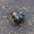 Keturdėmis valtvabalis - Scaphidium quadrimaculatum | Fotografijos autorius : Romas Ferenca | © Macrogamta.lt | Šis tinklapis priklauso bendruomenei kuri domisi makro fotografija ir fotografuoja gyvąjį makro pasaulį.