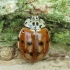 Keturtaškė boružė - Harmonia quadripunctata | Fotografijos autorius : Vidas Brazauskas | © Macrogamta.lt | Šis tinklapis priklauso bendruomenei kuri domisi makro fotografija ir fotografuoja gyvąjį makro pasaulį.