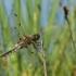 Keturtaškė skėtė - Libellula quadrimaculata | Fotografijos autorius : Dalia Račkauskaitė | © Macrogamta.lt | Šis tinklapis priklauso bendruomenei kuri domisi makro fotografija ir fotografuoja gyvąjį makro pasaulį.