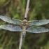 Keturtaškė skėtė - Libellula quadrimaculata | Fotografijos autorius : Vidas Brazauskas | © Macrogamta.lt | Šis tinklapis priklauso bendruomenei kuri domisi makro fotografija ir fotografuoja gyvąjį makro pasaulį.