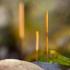 Kiauraviduris pirštūnis - Macrotyphula fistulosa   Fotografijos autorius : Zita Gasiūnaitė   © Macrogamta.lt   Šis tinklapis priklauso bendruomenei kuri domisi makro fotografija ir fotografuoja gyvąjį makro pasaulį.