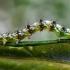Kietinė kukulija - Cucullia artemisiae, vikšras | Fotografijos autorius : Oskaras Venckus | © Macrogamta.lt | Šis tinklapis priklauso bendruomenei kuri domisi makro fotografija ir fotografuoja gyvąjį makro pasaulį.