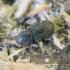 Kinivarpa - Crypturgus cinereus | Fotografijos autorius : Romas Ferenca | © Macrogamta.lt | Šis tinklapis priklauso bendruomenei kuri domisi makro fotografija ir fotografuoja gyvąjį makro pasaulį.