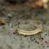 Mašalas - Forcipomyia sp. | Fotografijos autorius : Vidas Brazauskas | © Macrogamta.lt | Šis tinklapis priklauso bendruomenei kuri domisi makro fotografija ir fotografuoja gyvąjį makro pasaulį.