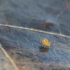 Kolembola - Collembola | Fotografijos autorius : Žilvinas Pūtys | © Macrogamta.lt | Šis tinklapis priklauso bendruomenei kuri domisi makro fotografija ir fotografuoja gyvąjį makro pasaulį.