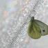 Griežtinis baltukas - Pieris napi | Fotografijos autorius : Agnė Našlėnienė | © Macrogamta.lt | Šis tinklapis priklauso bendruomenei kuri domisi makro fotografija ir fotografuoja gyvąjį makro pasaulį.