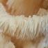 Korališkasis trapiadyglis - Hericium coralloides | Fotografijos autorius : Žilvinas Pūtys | © Macrogamta.lt | Šis tinklapis priklauso bendruomenei kuri domisi makro fotografija ir fotografuoja gyvąjį makro pasaulį.