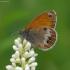 Krūminis satyriukas - Coenonympha arcania  | Fotografijos autorius : Romas Ferenca | © Macrogamta.lt | Šis tinklapis priklauso bendruomenei kuri domisi makro fotografija ir fotografuoja gyvąjį makro pasaulį.