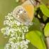 Krūminis satyriukas | Coenonympha arcania | Fotografijos autorius : Darius Baužys | © Macrogamta.lt | Šis tinklapis priklauso bendruomenei kuri domisi makro fotografija ir fotografuoja gyvąjį makro pasaulį.