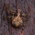 Dėmėtasis šonlekis - Ozyptila praticola ♀ | Fotografijos autorius : Žilvinas Pūtys | © Macrogamta.lt | Šis tinklapis priklauso bendruomenei kuri domisi makro fotografija ir fotografuoja gyvąjį makro pasaulį.