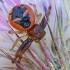 Krabvoris - Synema globosum   Fotografijos autorius : Gintautas Steiblys   © Macrogamta.lt   Šis tinklapis priklauso bendruomenei kuri domisi makro fotografija ir fotografuoja gyvąjį makro pasaulį.