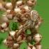 Guobinis krabvoris - Xysticus ulmi   Fotografijos autorius : Vidas Brazauskas   © Macrogamta.lt   Šis tinklapis priklauso bendruomenei kuri domisi makro fotografija ir fotografuoja gyvąjį makro pasaulį.
