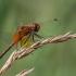 Geltonsparnė skėtė - Sympetrum flaveolum | Fotografijos autorius : Dalia Račkauskaitė | © Macrogamta.lt | Šis tinklapis priklauso bendruomenei kuri domisi makro fotografija ir fotografuoja gyvąjį makro pasaulį.