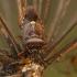 Kruvinoji skydblakė - Pinthaeus sanguinipes | Fotografijos autorius : Žilvinas Pūtys | © Macrogamta.lt | Šis tinklapis priklauso bendruomenei kuri domisi makro fotografija ir fotografuoja gyvąjį makro pasaulį.