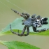 Kryžiuotis - Cyrtophora citricola | Fotografijos autorius : Gintautas Steiblys | © Macrogamta.lt | Šis tinklapis priklauso bendruomenei kuri domisi makro fotografija ir fotografuoja gyvąjį makro pasaulį.