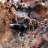 Krypūnėliškasis skaptavabalis - Cerylon histeroides | Fotografijos autorius : Vitalii Alekseev | © Macrogamta.lt | Šis tinklapis priklauso bendruomenei kuri domisi makro fotografija ir fotografuoja gyvąjį makro pasaulį.